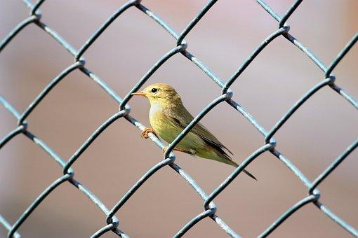 The çivgin, Common Warbler, Phylloscopus Collybita