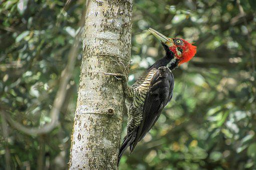 Bird, Woodpecker, Piciformes, Pica -pau Red Head