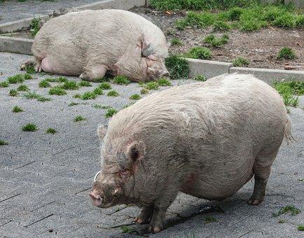 Nature, Animal, Pig, Slope Construction Pig