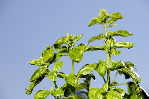 Basil, Herb, Spice, Leaves, Green, Mediterranean, Aroma