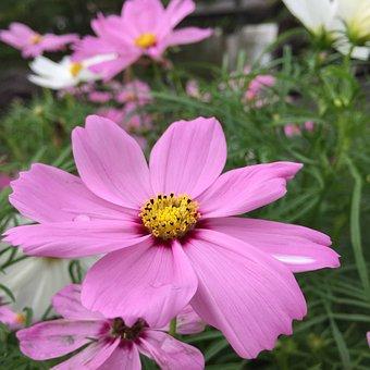 Cosmos, Pink, Summer, Factory, Garden, Flowers