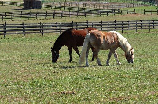 Horses, Field, Pasture, Graze, Haflinger, Outdoor