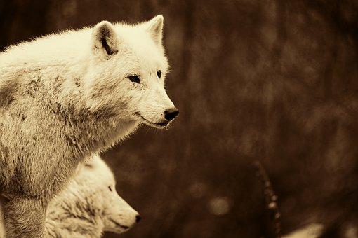 Wolves, Predators, Mammals, White Wolves