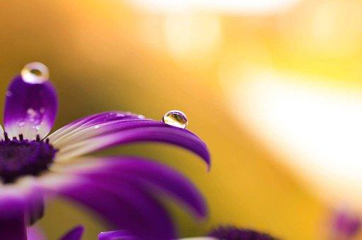Daisy, African, Drops, Flowers, Violet, Petals, Nature