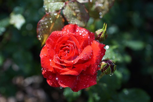 Rose, Flower, Nature, Plant