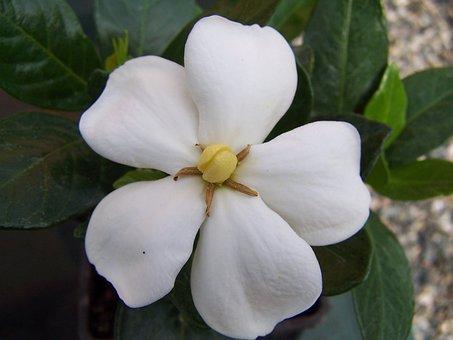 Gardenia, Jasminoides, Of Kleim Hardy, Flower, Scented