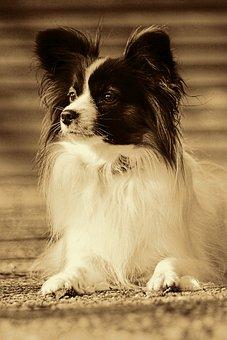 Dog, Pet, Animal Portrait, Small Dog, Papillion