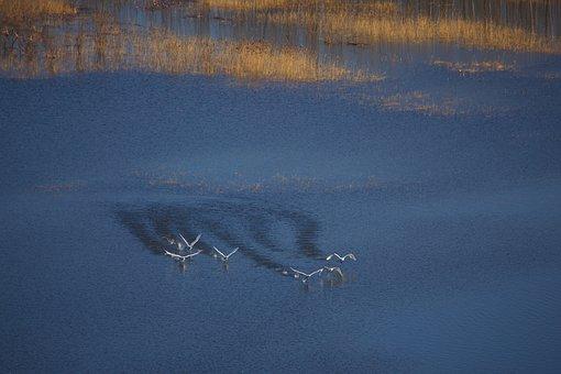 Swan, Take Off, Yellow River, Birds, Flight
