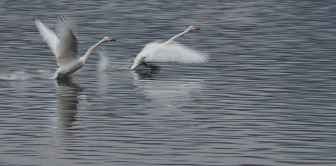 Swan, Take Off, Competition, Wings, Birds, Water, Run