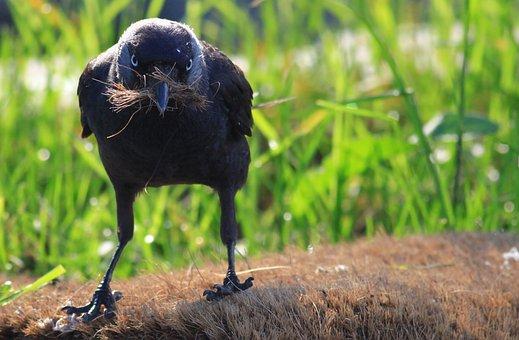 Crow, Jackdaw, Coloeus Monedula, Wild Nest, Bird