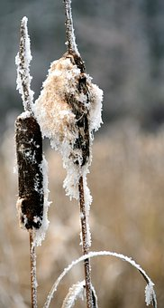 Reed, Winter, Snow, Wintry, Nature, Cold, Plant