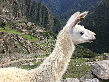 Llama, Machu Picchu, Peru, Picchu, Machu, Inca