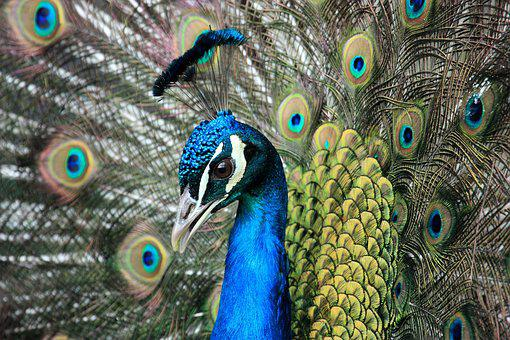 Bird, Peacock, Animal, Peacock Feathers, Head, Males