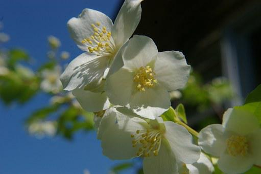White Flower, Machurian Shrub, Flower, Sunshine