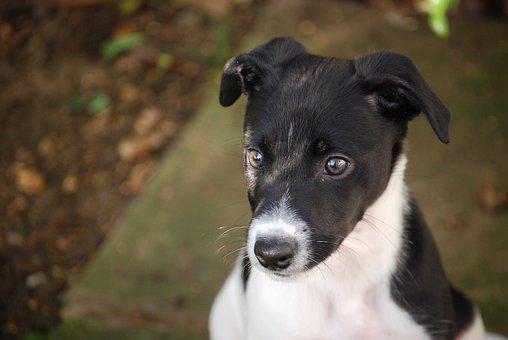 Lurcher, Puppy, Canine, Dog, Pet, Black, White