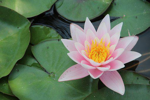 Water Lily, Millenáris, Flower