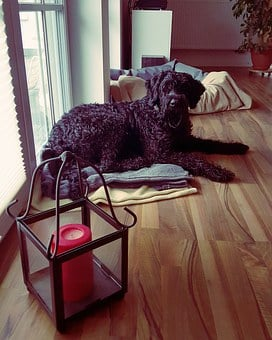 Riesenschnauzer, Dog, Black