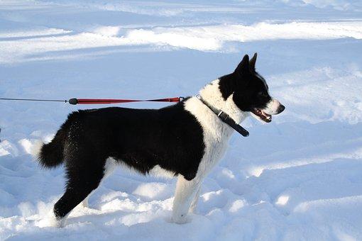 Dog, Karelian Bear Dog, Animal, Winter, Snow