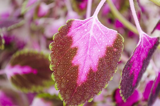 Coleus, Flowers, Leaves, Floral, Plant, Natural