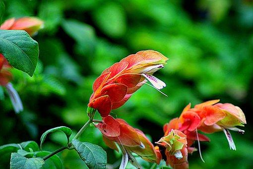 Flower, Pachystachys, Garden Flower, Floral, Plant