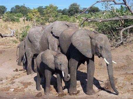 Elephant, Baby, Wildlife, Africa, Mammal, Animal