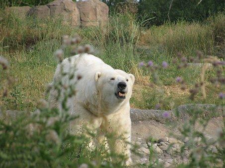 Polar Bear, Roar, Growl, White, Beast, Angry, Hungry