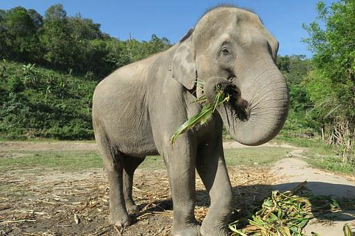 Elephant, Thailand, Elephant Eating, Animals