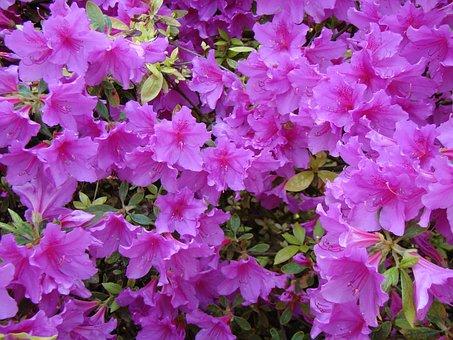 Rhododendron, Azalea, Flowers, Bush, Garden, Bloom