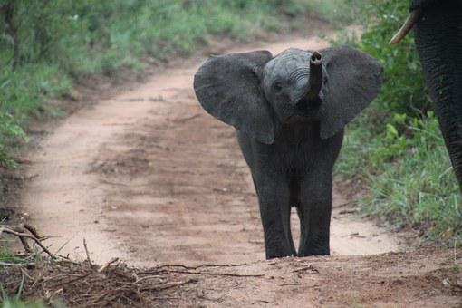 Nature, African Elephant, South Africa, Baby Elephant