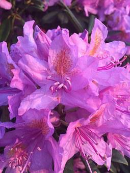 Rhododendron, Purple, Flower, Nature, Outdoors, Bloom