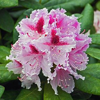 Rhododendron, Blossom, Bloom, Breeding