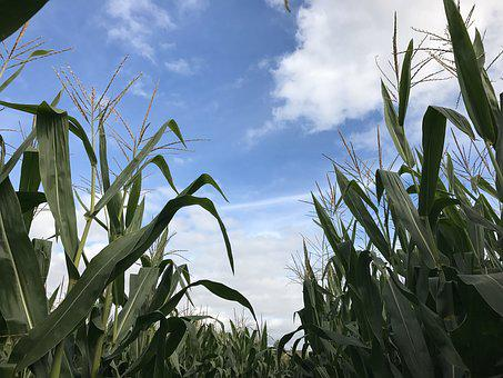 Corn, Sky, Clouds, Agriculture, Plant, Field, Crop