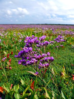 Beach Lilac, Salt Meadow, Sea, Island, Amrum, Coast