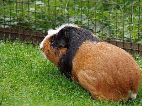Guinea Pig, Rodent, Sea pig House, Sweet, Cute
