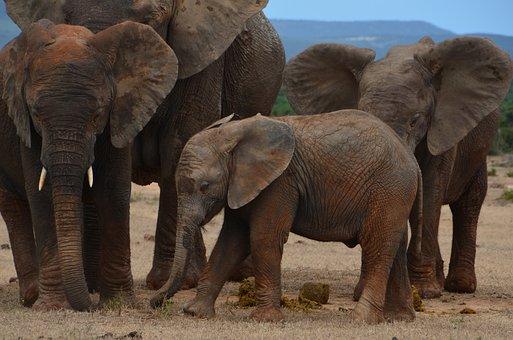Africa, Safari, Elephant, Wild Animal, Pachyderm