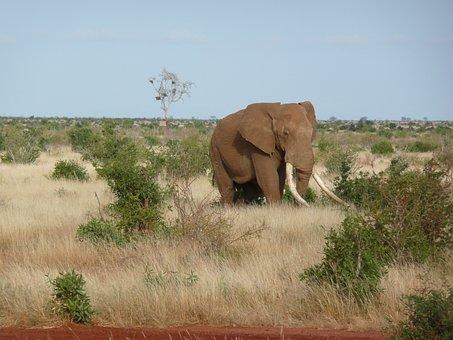Elephant, Africa, Kenya, Tsavo, Nature, Wildlife, Wild