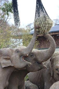 Elephants Feeding, Hay, Straw, Zoo, Animal, Elephant