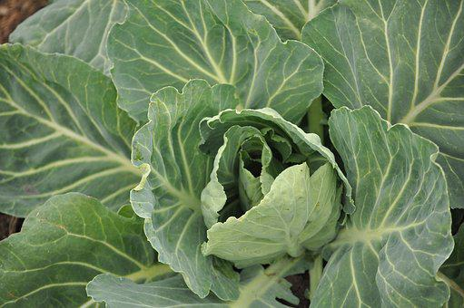 Cabbage, Leaves, Field, Farm, Ranch, Plantation