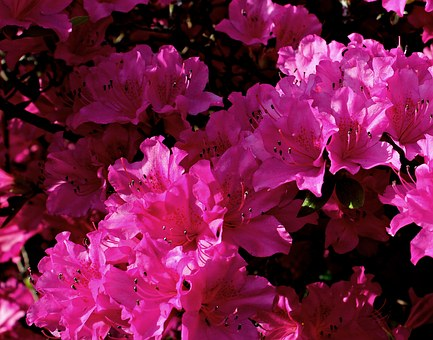 Rhododendron, Flower, Red, Pink, Nature, Blossom, Bloom