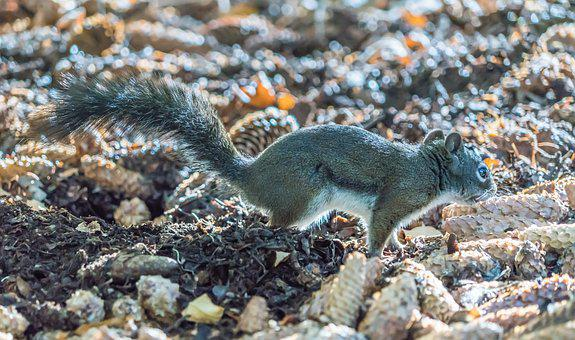 Squirrel, Pine Cones, Brown, Animal, Cute, Fluffy
