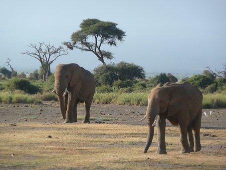 Elephants, Friends, Kenya, Amboselli, Savannah, Nature