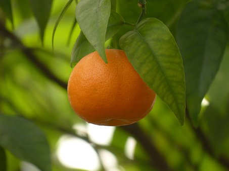 Mandarin, Fruit, Tree, Healthy, Citrus Fruit