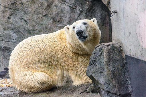 Polar Bear, Bear, Zoo, Animal, Predator, Fur, White