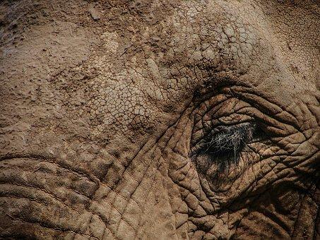 Elephant, Eye, Wildlife, Animal, Wild, Big, Nature