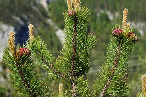 Pine Cones, Tree, Fir, Tannenzweig, Needles