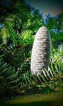 Pine Cone, Fir, Abies Mill, Standing, Up, Needles