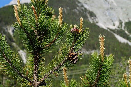 Pine Cones, Tree, Fir Tree, Tannenzweig, Needles