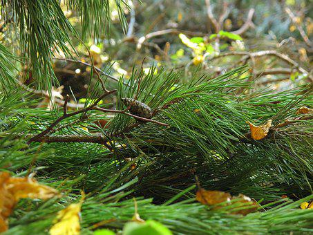 Undergrowth, Pine, Spruce, Iglak, Needles, Coniferous