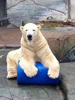Ice Bear, Play, Polar Bear, Zoo