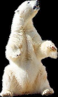 Polar, Bear, Polar Bear, Animal, Nature, Arctic, Snow
